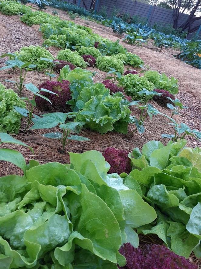 Organic lettuce leaves
